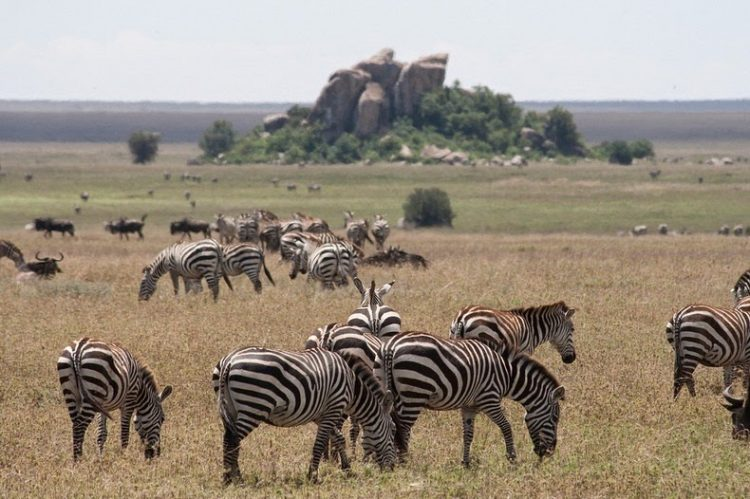 Kopjes provide a scenic contrast to the nearby grasslands. It also offers habitat for numerous creatures.