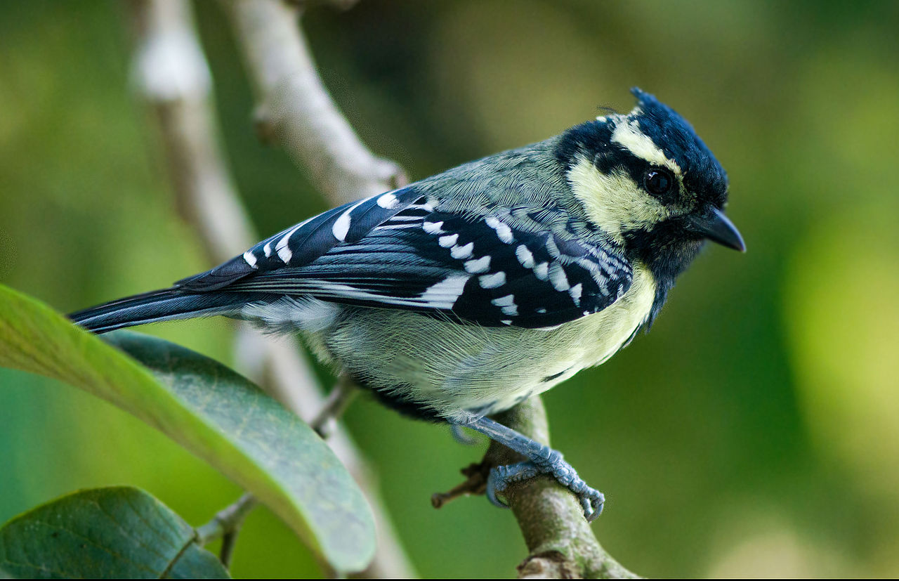 The bird is an easy tit to recognize in most of India.  Because, the large crest, neck, throat and head are black with yellow cheeks and supercilia.