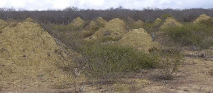 The cone-shaped are not nests, actually piles of dirt each measuring 30ft wide at its base and twice as tall as a grown man.