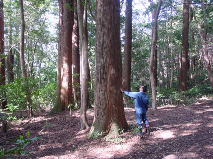 Back in 1973, Japan's Forestry and Fisheries (Ministry of Agriculture) started a project dedicated an area of land near Nichinan City was making an 'experimental forestry'.