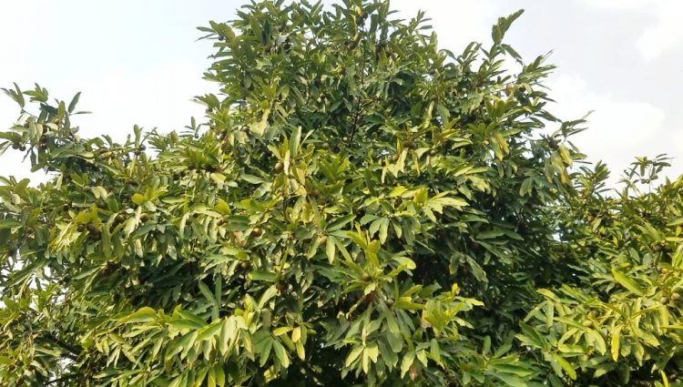 Black Sapote tree can grow to 25 meters in height. It is an evergreen tree but frost sensitive and can tolerate light frosts.
