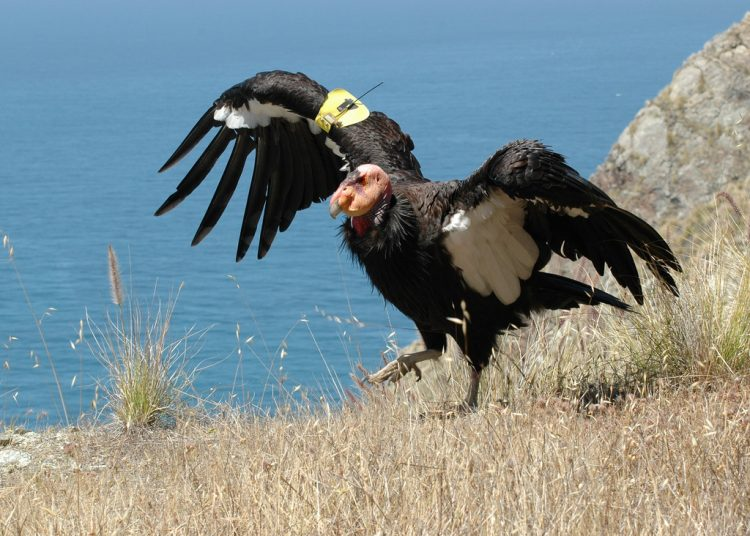 A New World vulture, the California condor is the largest North American land bird.