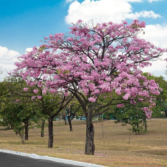 The eye-catching Pink Trumpet 'Tabebuia heterophylla' Tree grows at a reasonable rate from a slim pyramid when young to a broad silhouette, 20 to 40 feet tall.
