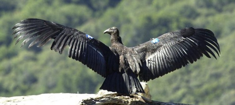 California Condor with a wingspan reaching 3 meters (9 ft.) long. When it soars, the wings spread more than nine feet from tip to tip.