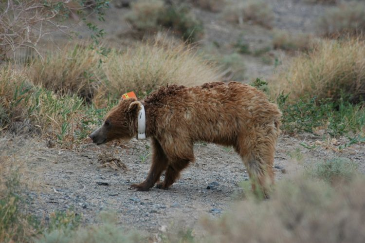 """The rare Gobi Bear """"Mazaalai"""" is a subspecies of the Brown Bear lives on the harshest places on Earth."""