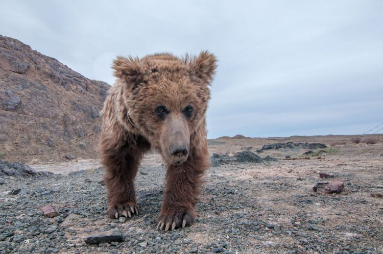 Gobi Bears is relatively small with brown fur, their head, belly, and legs are noticeably darker and lighter patches on the neck or chest.