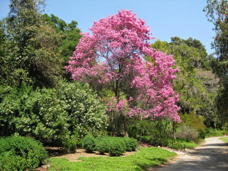 The showy display of pink or white, bellshaped blooms appears throughout the spring and summer and is followed by the production of long, slender seedpods.