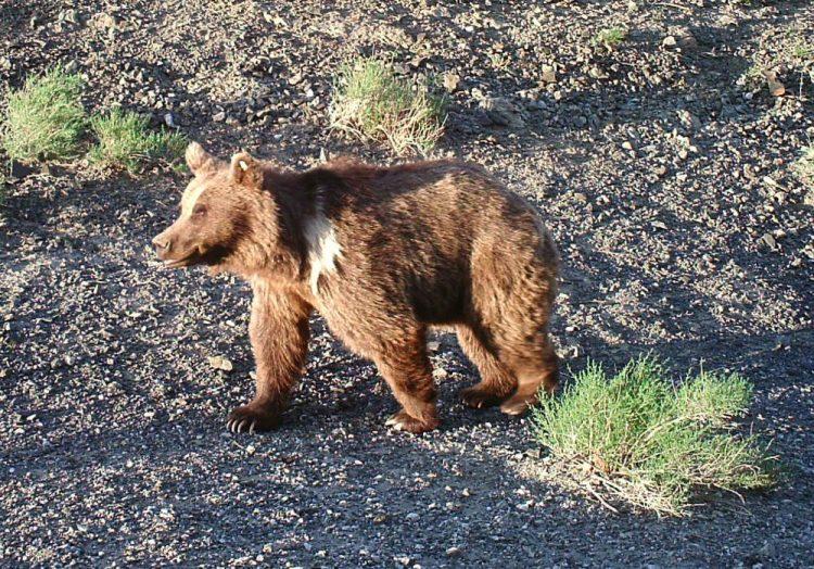 Gobi Bear is found in Gobi Desert of Mongolia.