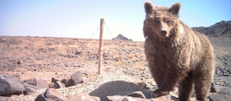 The Gobi Desert is separated by enough distance from other brown bear populations to achieve reproductive isolation.