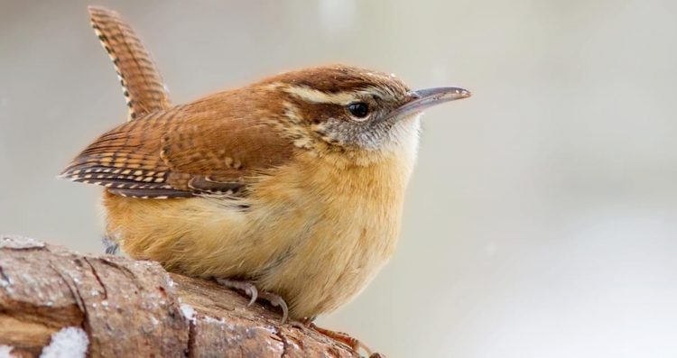 Carolina Wren (Thryothorus ludovicianus) is a beautiful small bird having rusty upperparts, cinnamon underparts, and a different white eye-stripe.