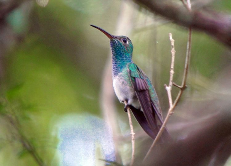 The Honduran Emerald (Amazilia luciae) is a little-known hummingbird in the family of Trochilidae.