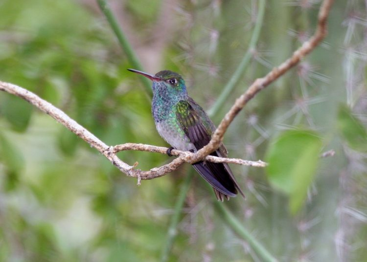 Honduran Emerald is threatened by habitat loss and deforestation.