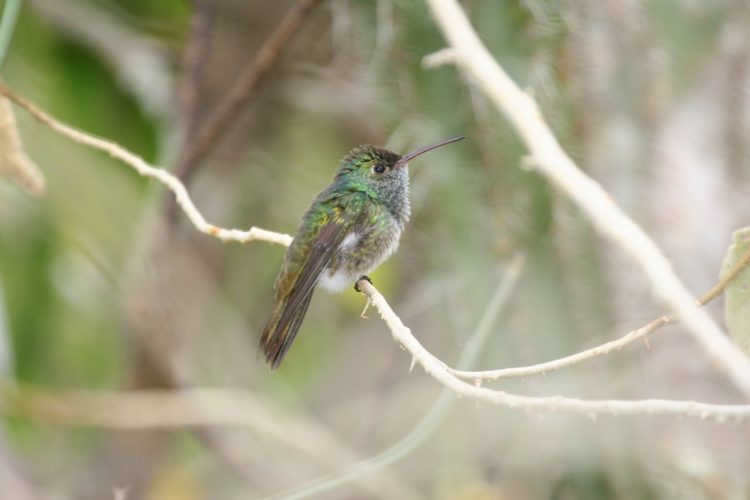 Like other hummingbirds it is a medium sized hummingbird. It has a straight bill that is only slightly decurved.