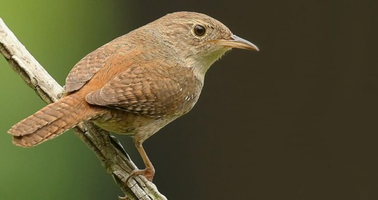 The House Wren (Troglodytes aedon) is a small songbird of wren family. The bird is generally a dull grayish-brown with darker barring on the wings and tail.