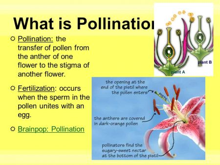What is Pollination? a critical moment of flower life. Pollen is the dust yellow color produced stamens made millions of microscopic granules