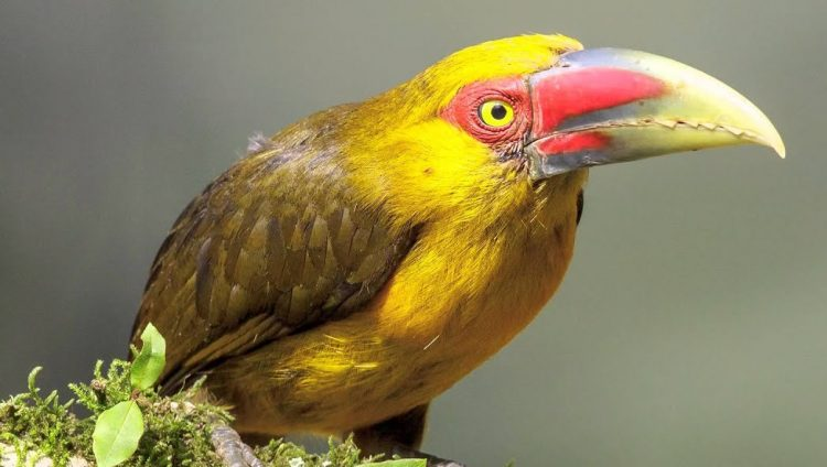 The saffron toucanet (Pteroglossus bailloni) is a South American Toucan belongs to the family Ramphastidae. This bird can find in the Argentina, Brazil, and Paraguay.