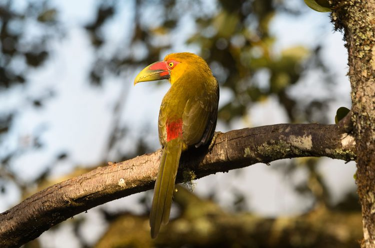 It is also called Baillon's toucan, banana toucan, saffron-colored Araçari-banana, and yellow toucanet.
