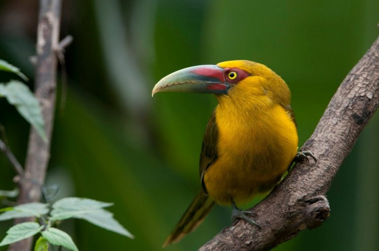 Despite its distinctive appearance, the bird has not been well studied and very little known about its natural history.