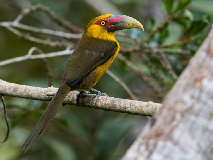 The bird is usually seen in the canopy of humid and second growth forests in small groups, occasionally descending to visit feeding stations.