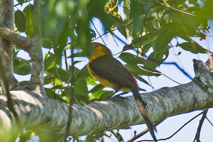 An adult male bird has golden head and breast, olive mantle with red rump. The male is also modestly sized toucan, with green, blue grey, and yellow grey color. Whereas, a female adult bird is same to male but have dark olive and less gold coloration with short bill.