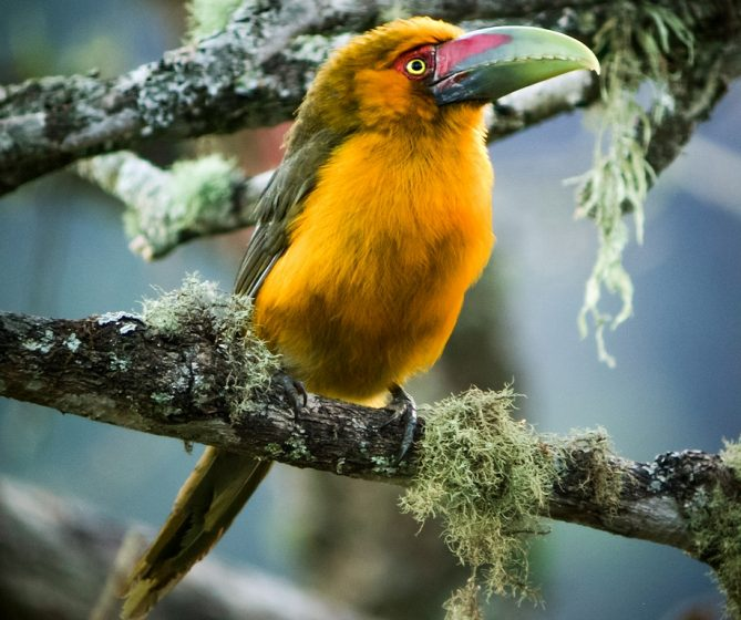 Saffron Toucanet found in the Atlantic Forest of Argentina. It is believed the bird is part of an ancient stock that became isolated in the present Atlantic Forest from marine transgression, which couldn't adapt and invade the Brazilian Savanna.
