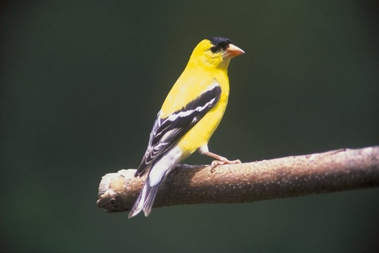 "The American goldfinch is the state bird of ""Iowa"" and ""New Jersey"", where it is known as ""Eastern Goldfinch"", and in Washington, it is called the ""Willow Goldfinch""."