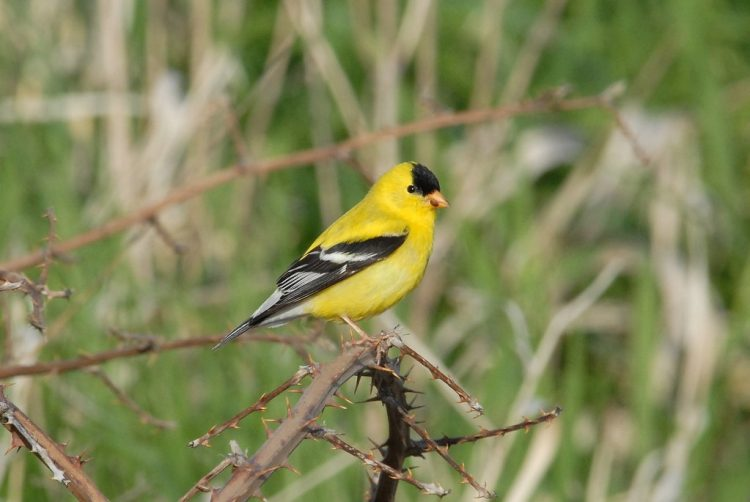 The American Goldfinch (Carduelis tristis) is a favorite visitor of many backyard birdwatchers.