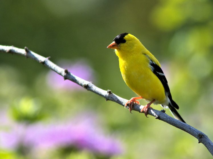 The American Goldfinch is a common migrant resident in various states of United States,