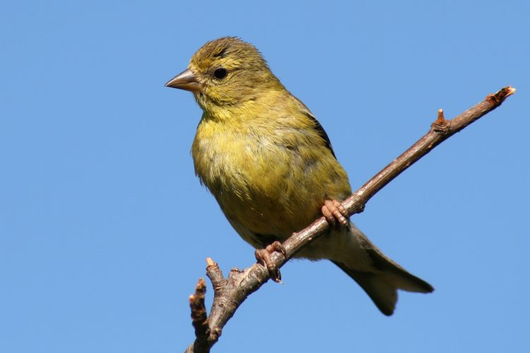 the female American Goldfinch has olive yellow body feathers with black wing feathers and two white wings bars. This is a diurnal bird, meaning it's most agile during the day.