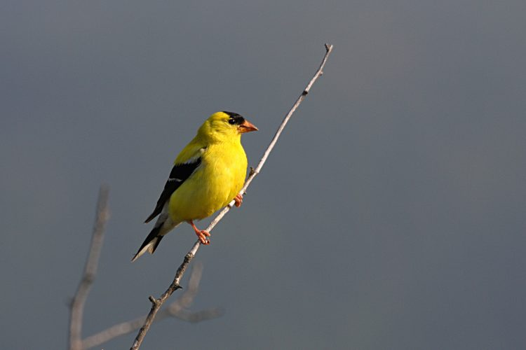 Normally male bird sings a long and different series of twitters and musical warbles lasted for several seconds long.