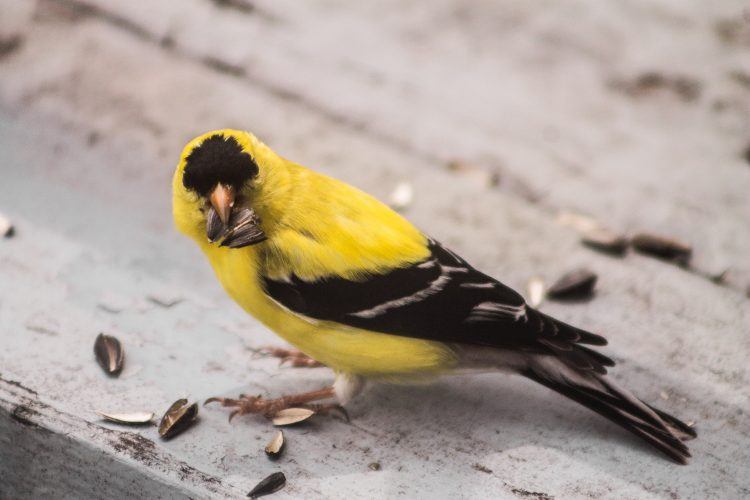 The most amazing part of American goldfinch is displaying sexual dimorphism in its coloration.