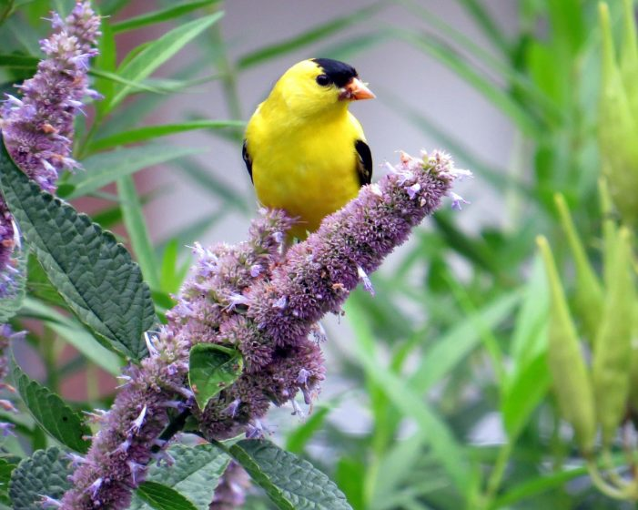 The American Goldfinch is one of the most common and widespread birds, but it can seem to disappear during the winter.