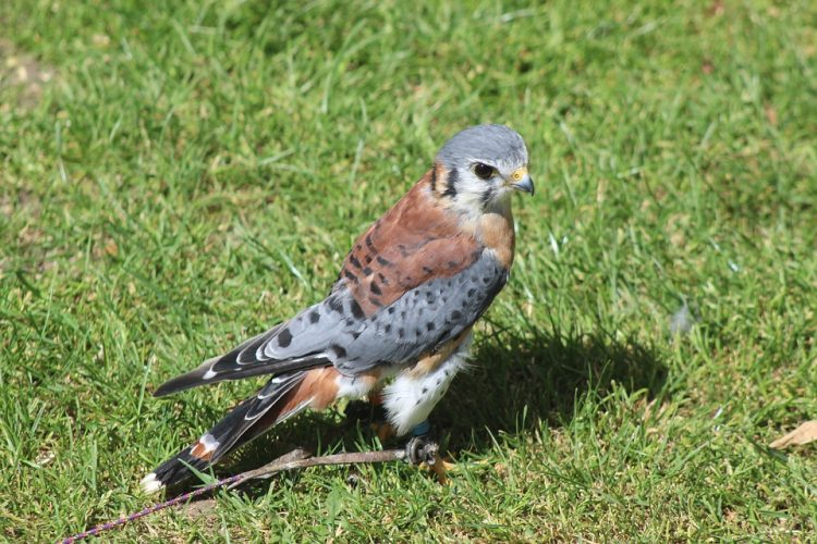 The American kestrel is a year-round resident over most of the United States but is migratory over the northern-most portions of its range (National Geographic Society.