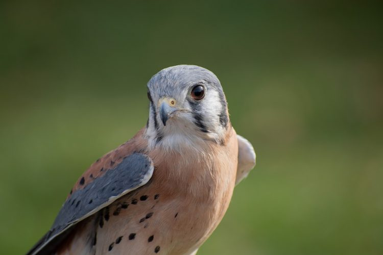 Adult kestrels are solitary, except during the breeding season, and maintain territories even in winter.