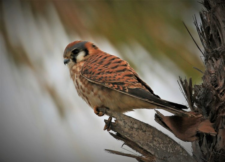 Kestrels typically build their nests in tree cavities but have used holes in telephone poles, buildings, or stream banks when tree cavities are not available.