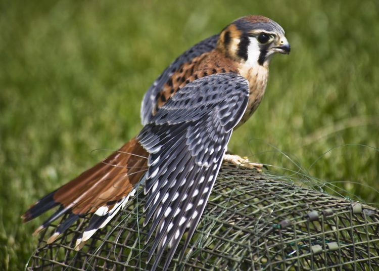 is also called sparrow hawk, although birds are not the main prey item. Falcons, in general, have long, pointed wings and long tails, like mourning dove (Zenaida macroura).