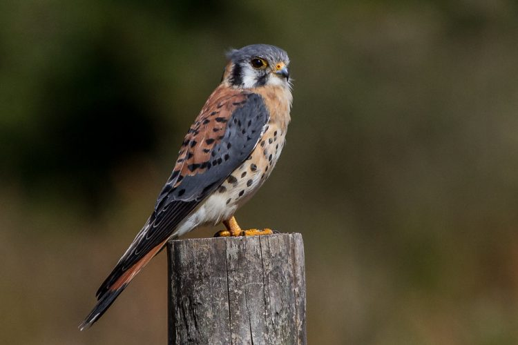 It is one of the smallest and most widely distributed falcons in North America. In the first sight, kestrels are often confused with other small birds such as mourning doves.