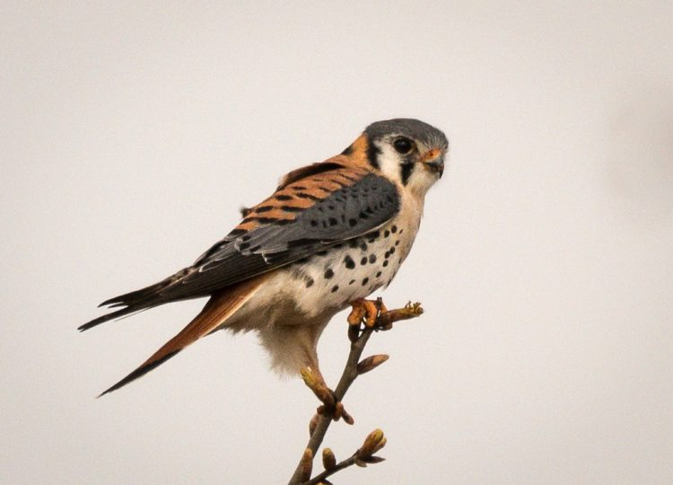 The American Kestrel seek ready-made nests, such as wild woodpecker excavated holes or nest boxes provided by humans.