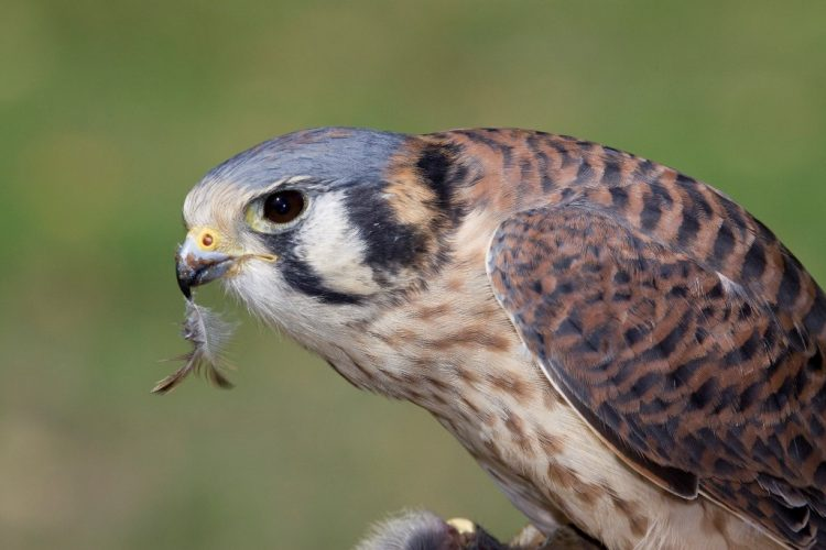 The Kestrel used nest boxes, but competition from non-native European Starlings is a real problem. Once the Kestrels pair select the site for nesting, then they use it for many years.