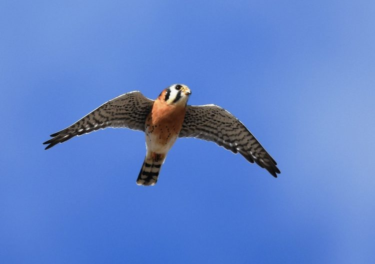The American kestrel (Falco sparverius), or sparrow hawk, is the most common falcon in open and semi-open areas throughout North America. There are three recognized subspecies.
