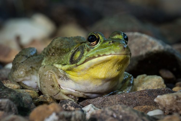 These are typical frogs with adults being truly amphibious, living at the edge of water bodies and entering the water to catch prey, flee danger, and spawn.