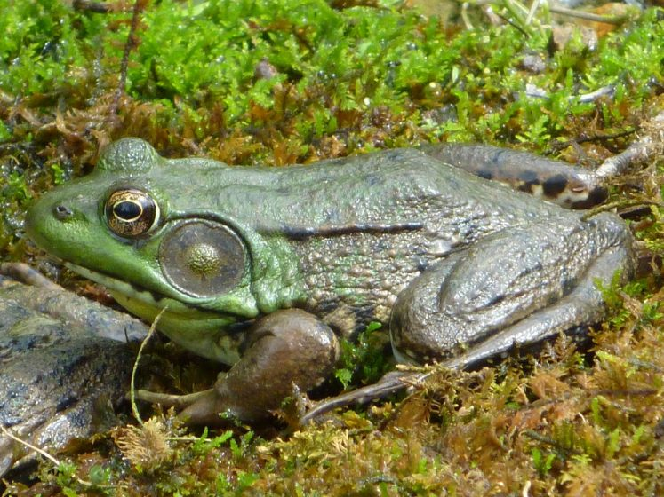 The green frog (Rana clamitans) is usually found near shallow freshwater throughout much of eastern North America.