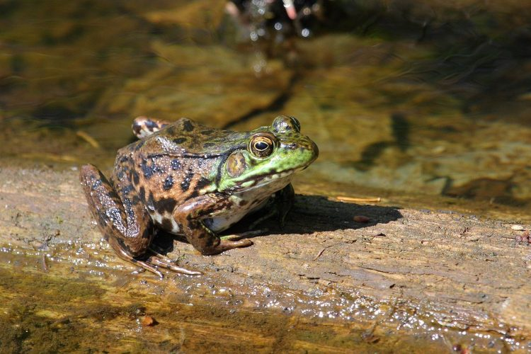 Adult green frogs live at the margins of permanent or semi-permanent shallow water, springs, swamps, streams, ponds, and lakes.