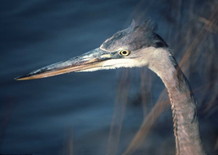 Herons, egrets, and bitterns are medium to large wading birds with long necks and spear-like bills. Nearly all species feed primarily on aquatic animal life e.g., fish, frogs, crayfish, insects.