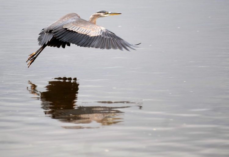 The great blue heron (Ardeaherodias) is the largest member of the group in North America and feeds primarily on aquatic animals.