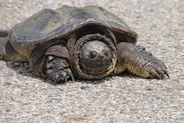 The snapping turtle, including both the common and Florida snapping turtles, and the alligator snapping turtle mostly found in lakes, streams, and freshwater where fish in abundance numbers.