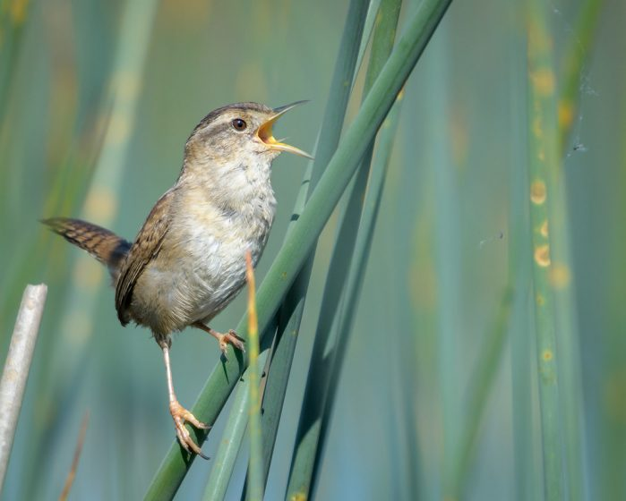 Marsh wrens eat mostly insects, and occasionally snails, which they glean from the surface of vegetation. This species was formerly known as the long-billed marsh wren (Telmatodytes palustris).