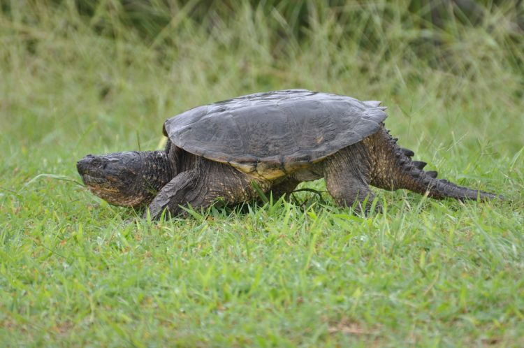 Snapping turtles are among the largest of the freshwater turtles. They are characterized by large heads with powerful hooked jaws. There are only two species of this family in North America.