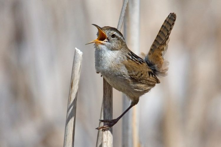 The marsh wren (Cistothorus palustris) is a common bird inhabiting freshwater cattail marshes and salt marshes.