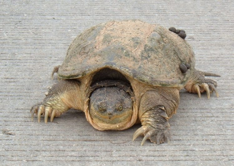 Snapping Turtles reach the sexual maturity at about 200 mm in carapace length.